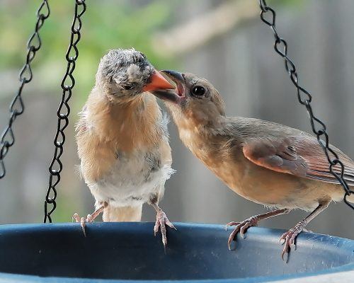 All About Baby Cardinals from A to Z