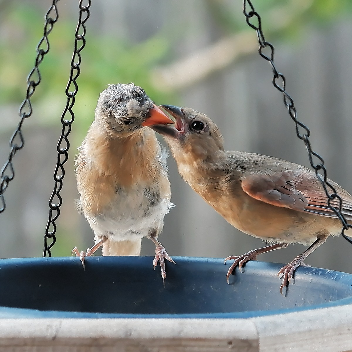 baby juvenile cardinals feeding each other