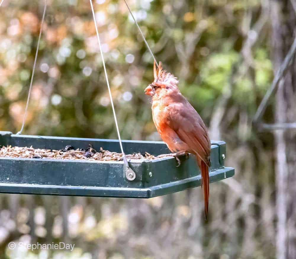 Male cardinal eating from a platform feeder