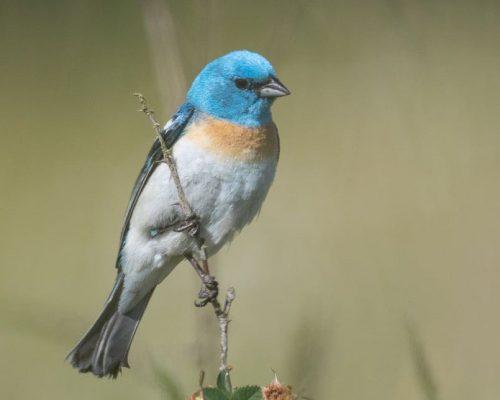 The Ultimate List of Blue-Colored Birds in the US & Canada