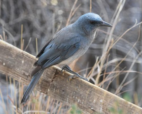 The Ultimate List of Blue-Colored Birds in Michigan