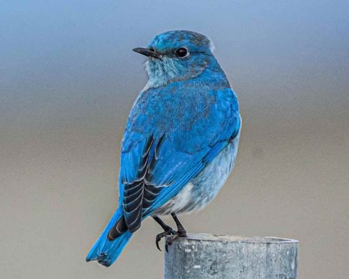The Ultimate List of Blue-Colored Birds in Texas