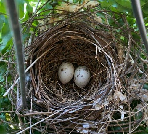 Cardinal eggs in a nest
