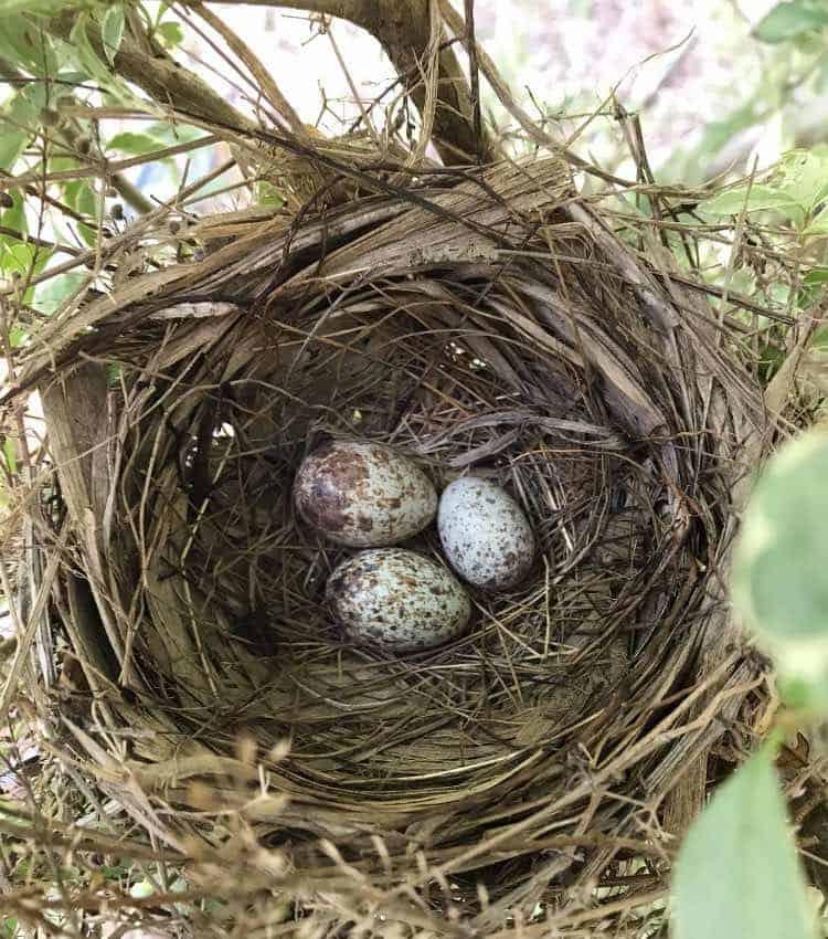 nest with cardinal bird eggs