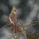 Female cardinal with a backdrop of snow