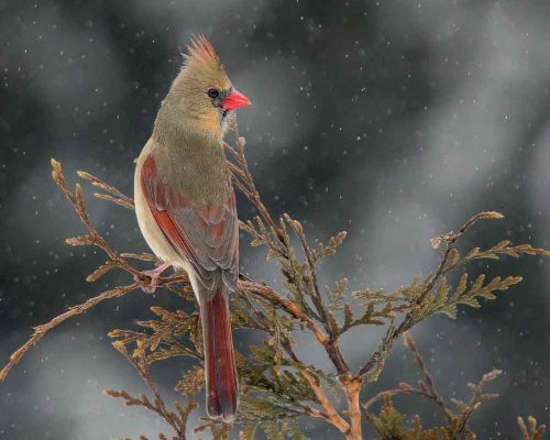 What the Female Cardinal Looks Like (+ her Many Looks)