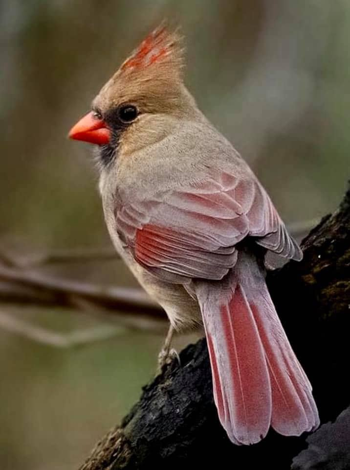 Female cardinal view from back