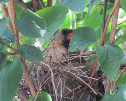 All About Cardinal Nests & Their Nesting Habits