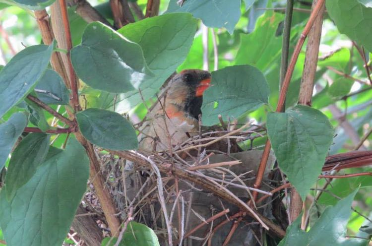 Female cardinal incubating eggs