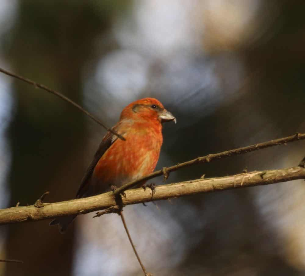 Male red crossbill sitting on a branch