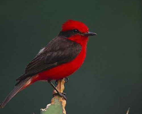 The Complete List of Small Red Birds (That Aren't Cardinals)