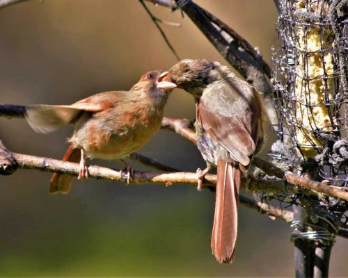 """9 Reasons the Female Cardinal Should Win """"Mother of the Year"""""""