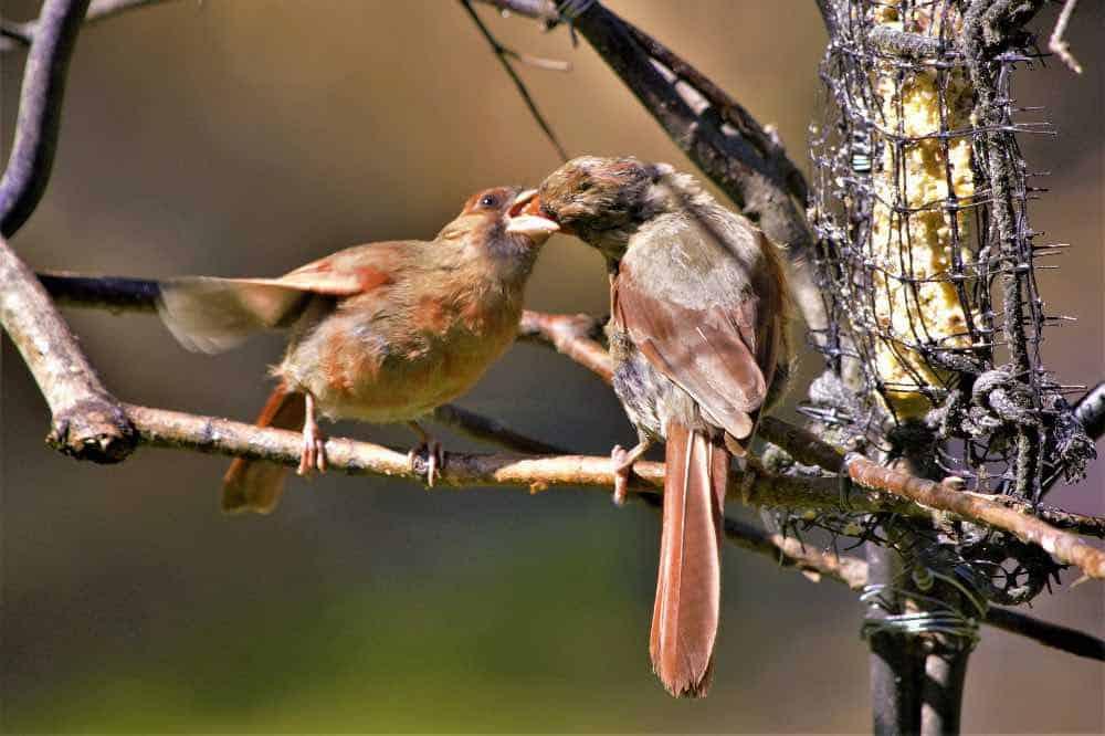 female cardinal feeding baby