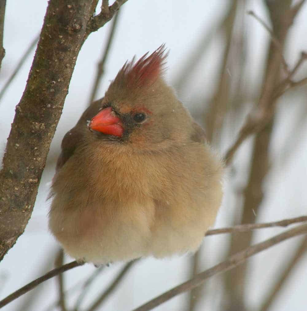 female cardinal fluffing feathers