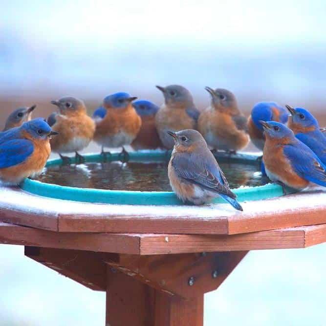 Family of bluebirds enjoying a heated birdbath in winter. Photo by Julie Atkinson